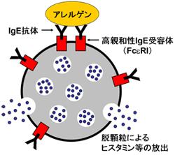 肥満細胞とIgE
