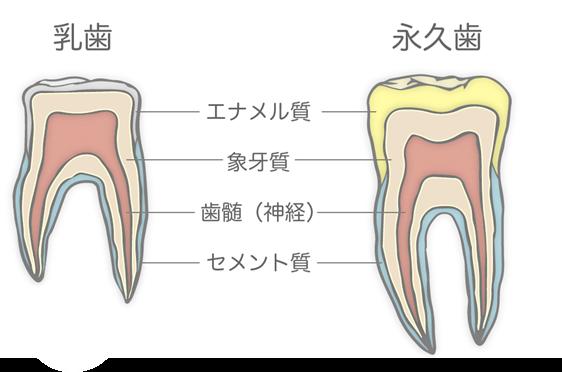 永久歯 乳歯