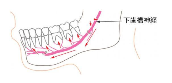 下歯槽神経イラスト